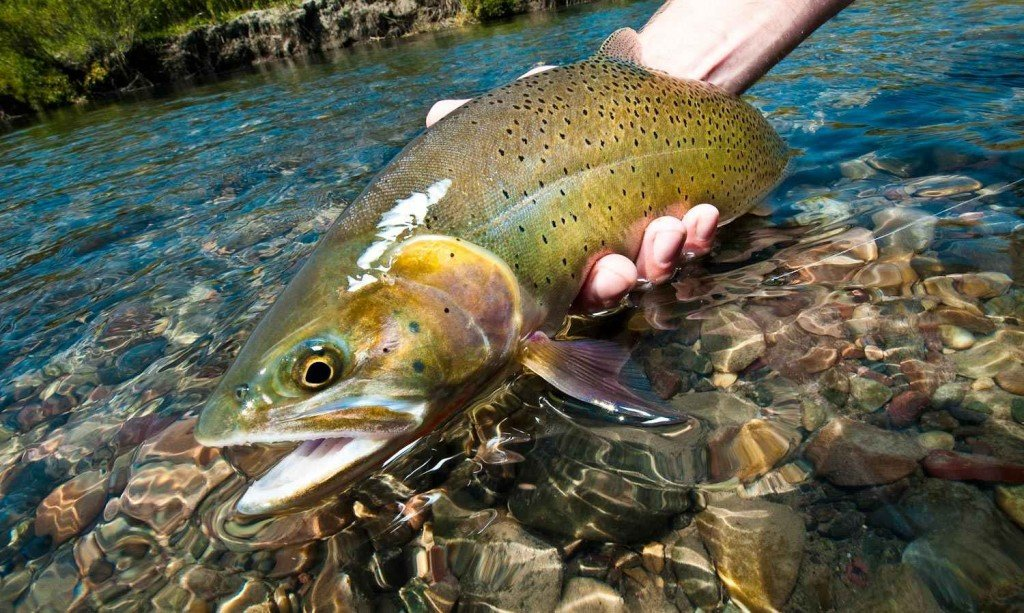 fly-fishing-for-cutthroat-trout-1024x613